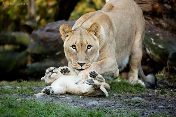 leona jugando con cachorro