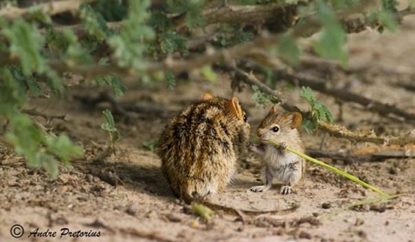 ratón de campo con su bebé