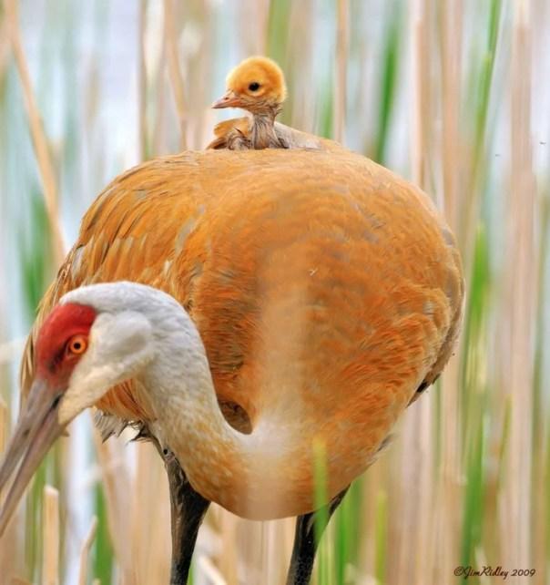 grulla con su polluelo