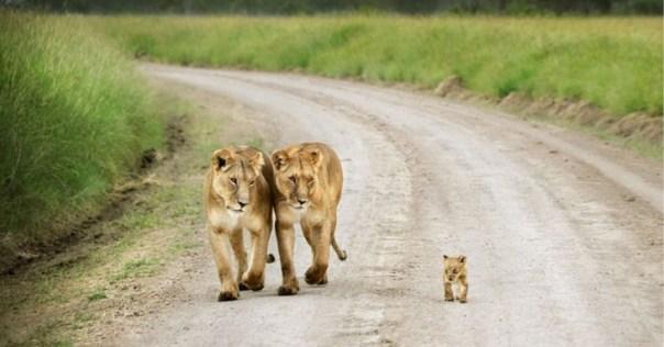 dos leonas con un cachorro