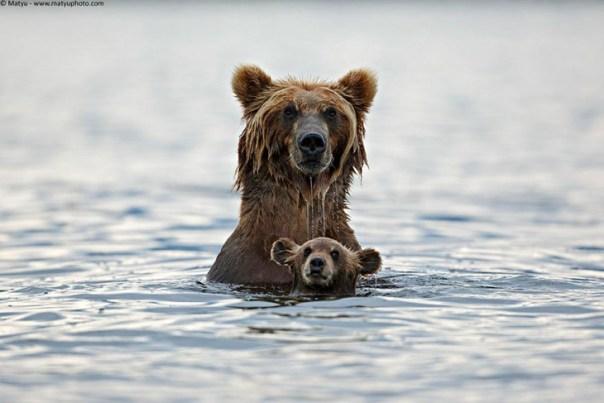 oso pardo con su bebé