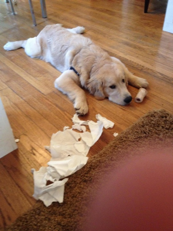 perro acostado en el piso deshaciendo un rollo de papel
