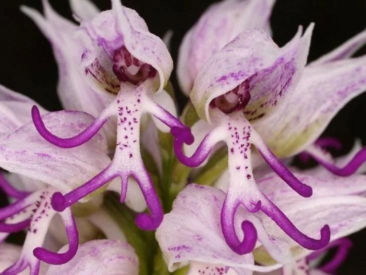 Flor orquídea que simula dos personas tomadas de la mano