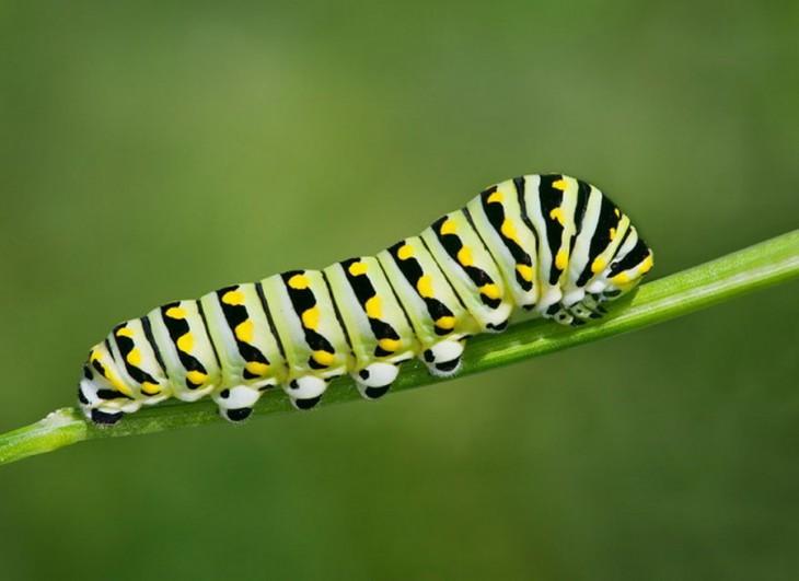 Oruga Swallowtail de color con manchas negras y verdes