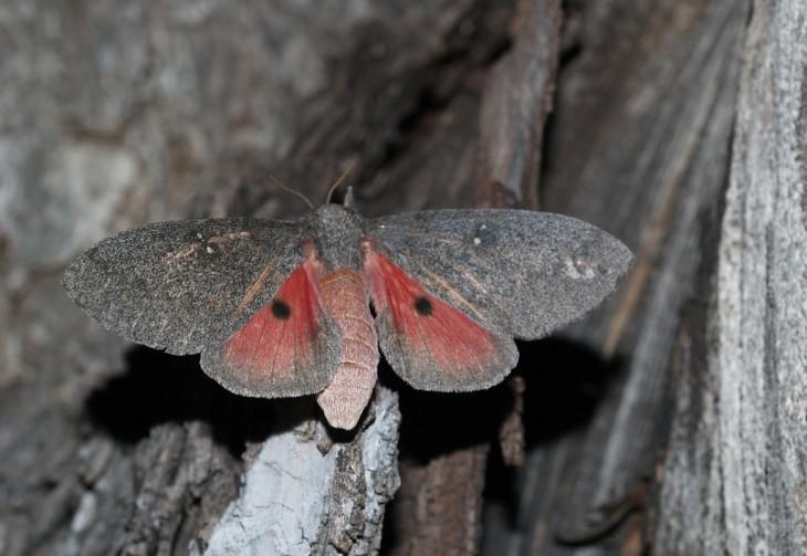 Mariposa Hubbard's Small Silkmoth sobre ramas de un árbol seco