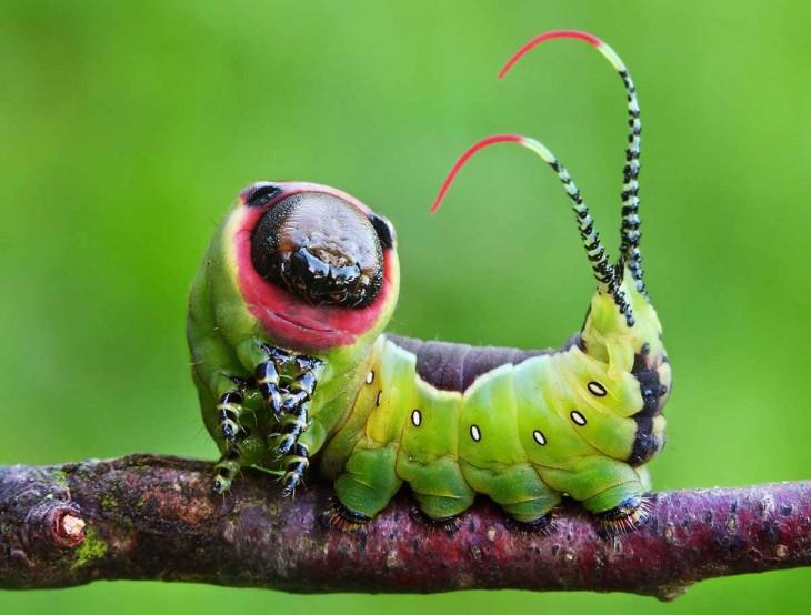 Oruga de mariposa cerura vinula sobre una rama