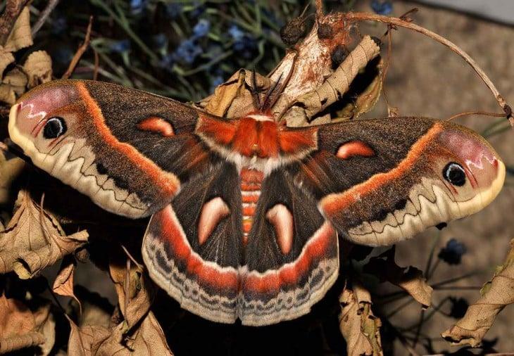 Mariposa Cecropia sobre una rama y hojas secas