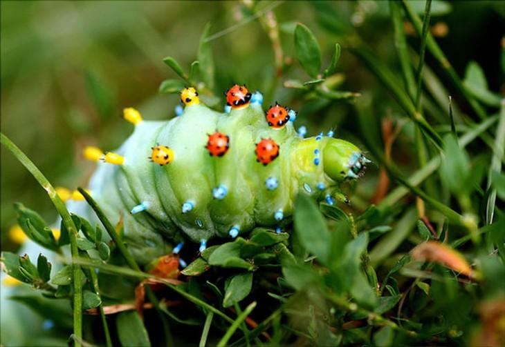 Oruga antes de convertirse en una mariposa Cecropia