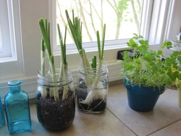 Ajos plantados en frascos de vidrio