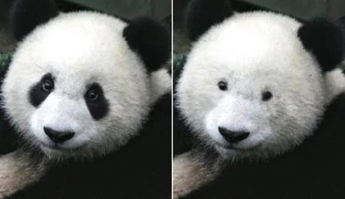 Imagen de un oso panda dividida en dos partes