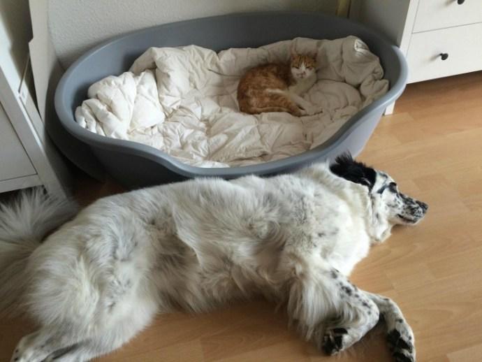 Dog deitado sua tina porque o gato-lo fora