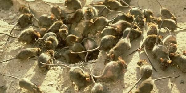 Plaga de ratas negras en LA EDAD cortarles utilizadas medios párrafo l como pieles y ponerselas en las cejas