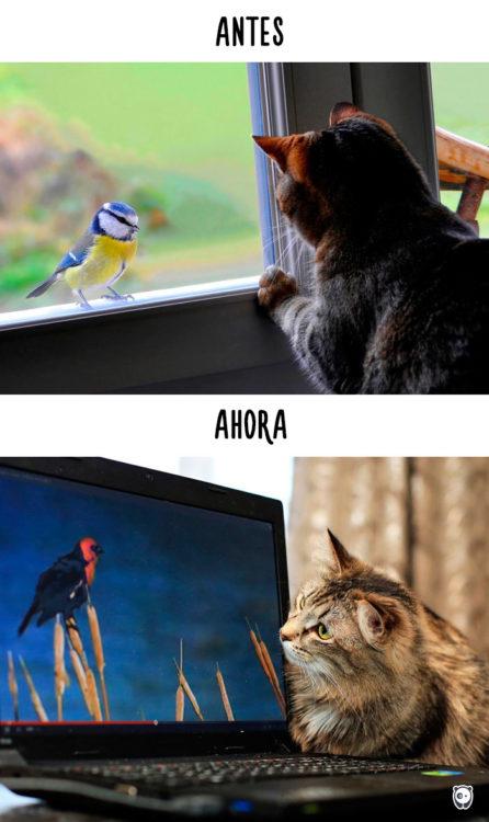 gato viendo un pájaro en la ventana antes y viendo un pájaro en la computadora ahora