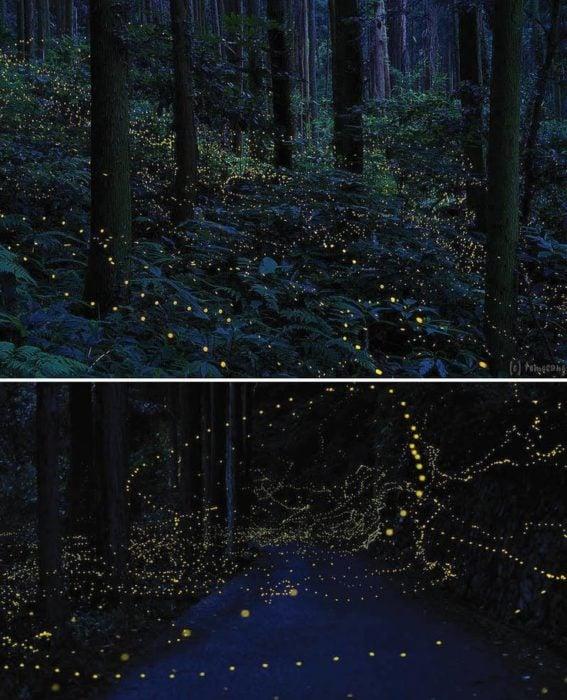 Bosque de lucíernagas en Japón