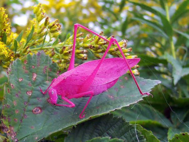 insecto rosa
