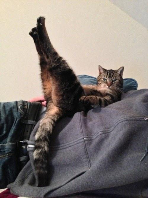 gato haciendo yoga