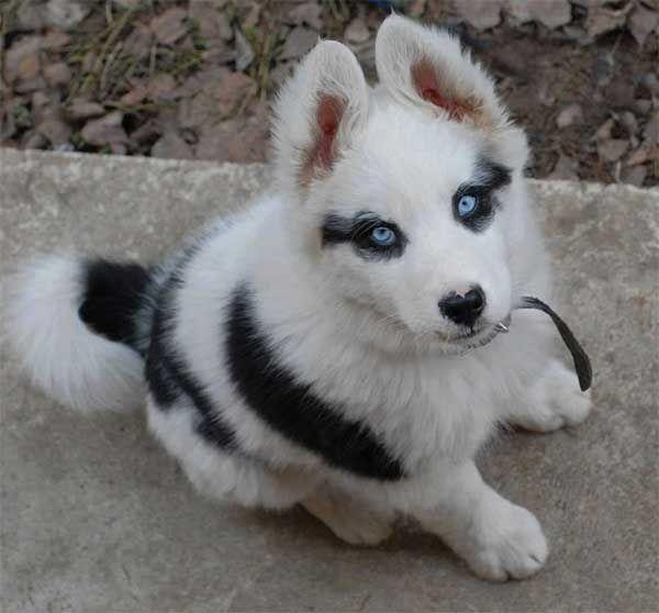 perro husky con máculas en los ojos