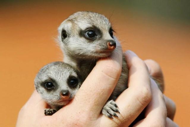 suricatas bebes