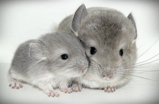 chinchillas bebes