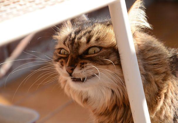 gato desalmado