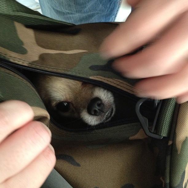 perro escondido en cangurera