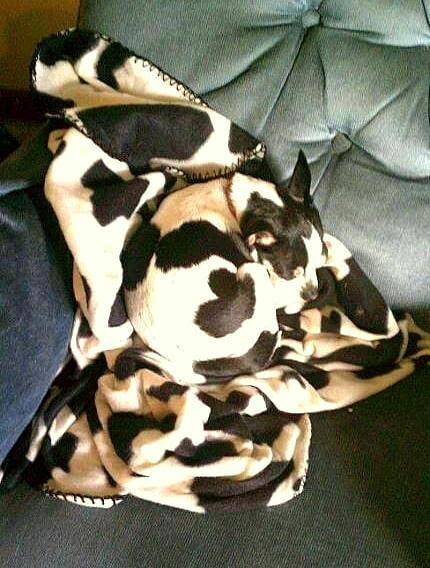 perro camuflado con cobija