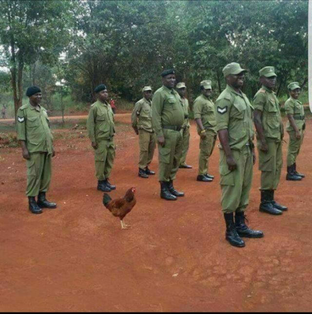 pollo en capacitación de ejército