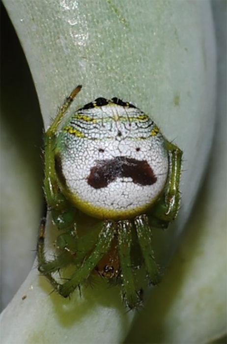 araña con la panza con la hacia del señor pringles