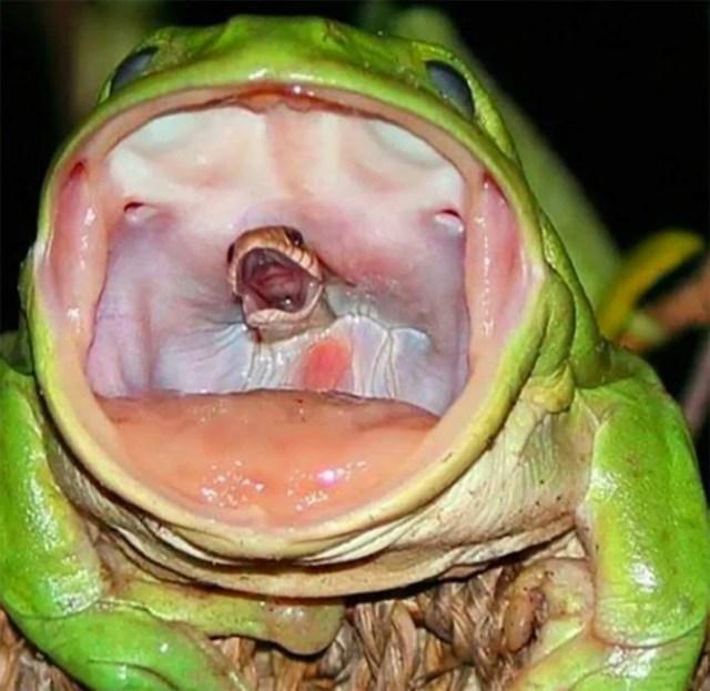 serpiente tragada por una rana