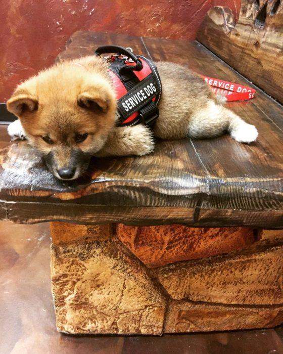 cachorro de servicio recostado en un peldaño de madera
