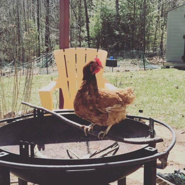 gallina viva parada en un comal