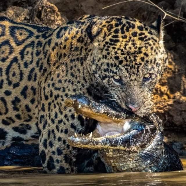jaguar peleando con un caimán