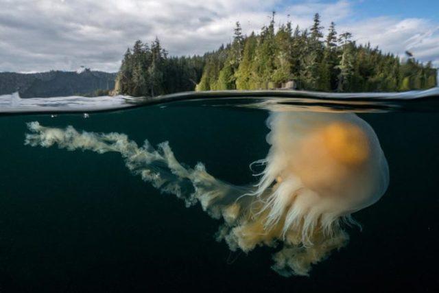 fotografía de una medusa bajo del agua y se ve tierra con muchos árboles en la superficie