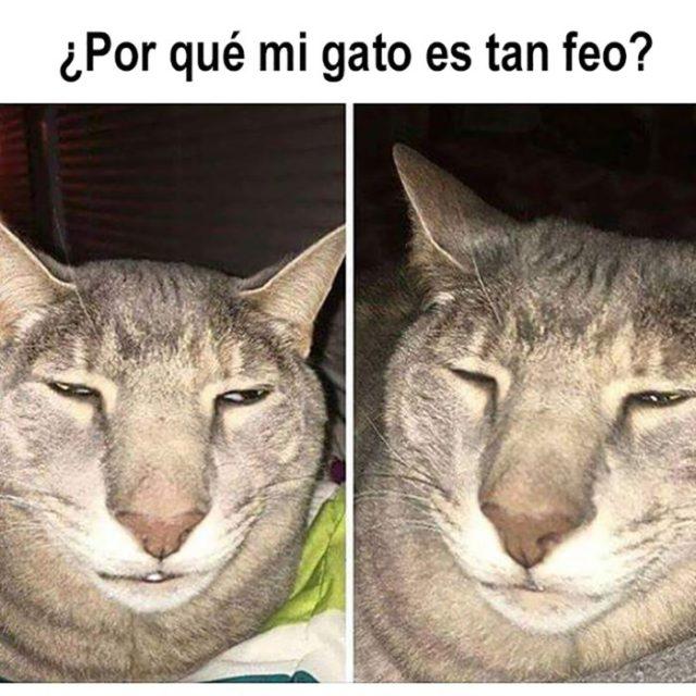 meme gatito feo