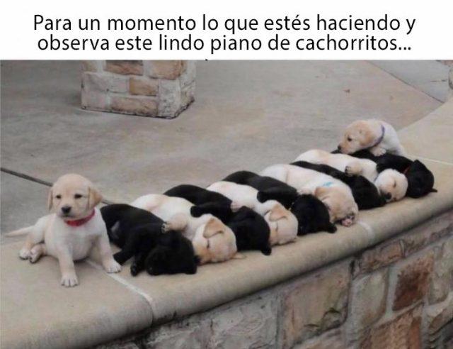 piano de cachorritos