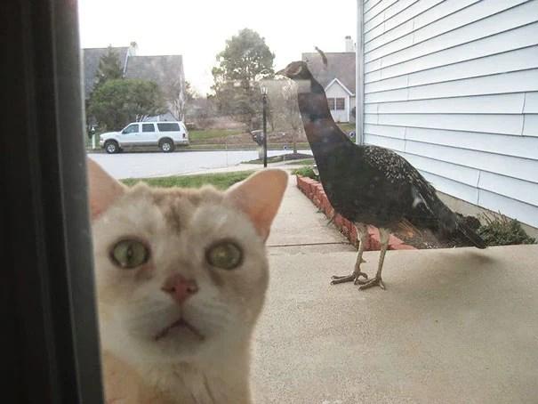 Gato afuera queriendo entrar con hacia de atemorizado porque hay un pavorreal afuera