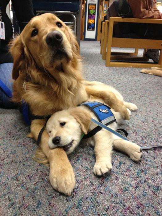 Perro golden adulto y cachorro de servicio
