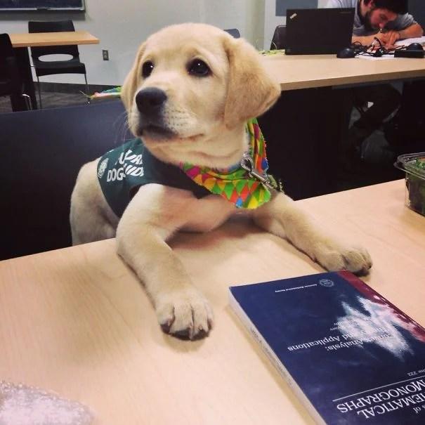 cachorro labrador de servicio en su clase