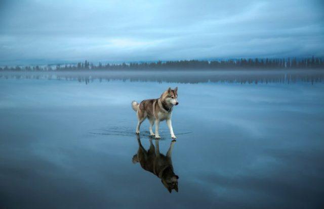 lobo sobre el agua