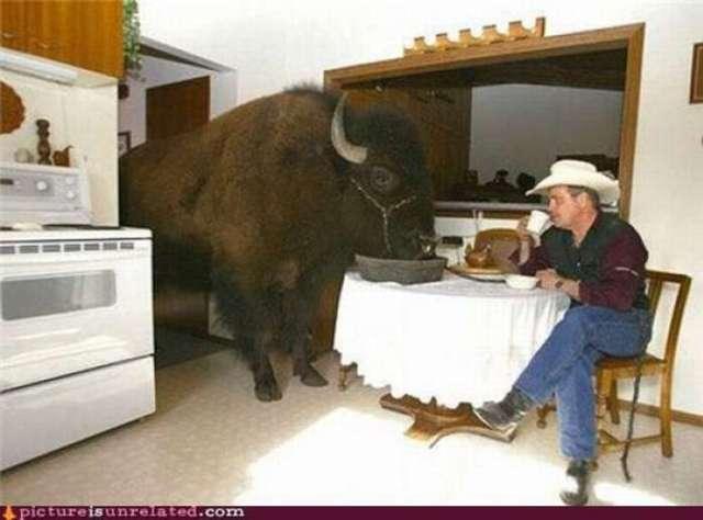 Imágenes incomprensibles - búfalo comiendo en mesa