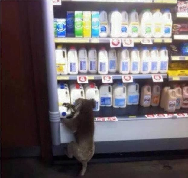 koala bebiendo leche