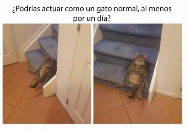 ¿por que no eres un gatito normal?