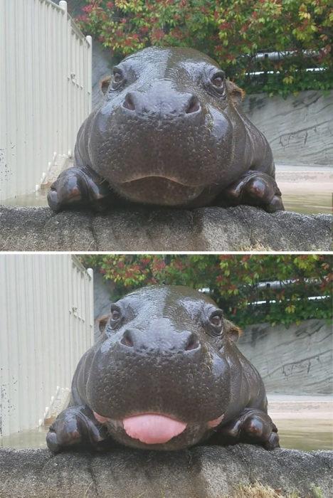 hipopótamo sacando la lengua