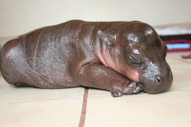hipopótamo dormido