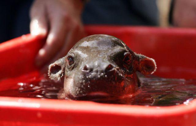 hipopótamo jalando carretilla