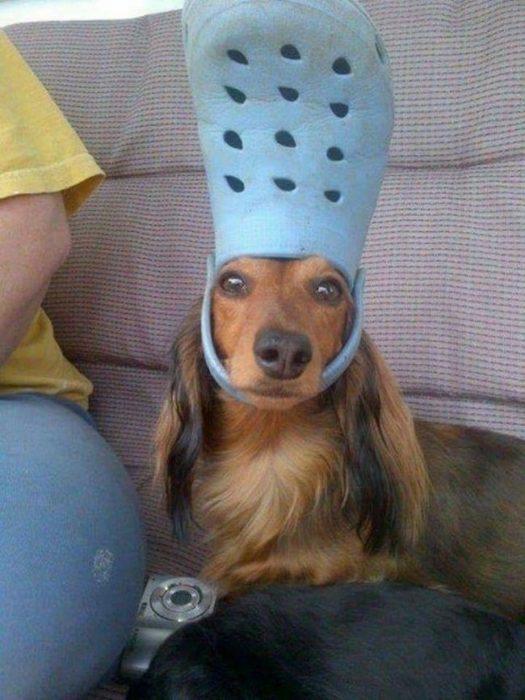 Perro utilizando chancleta cual sombrero