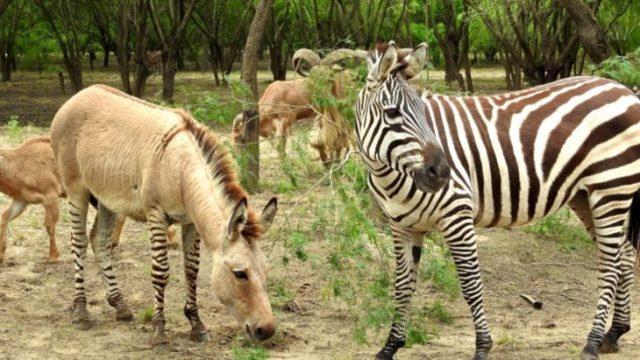 zebrasno híbrido entre zebra y asno