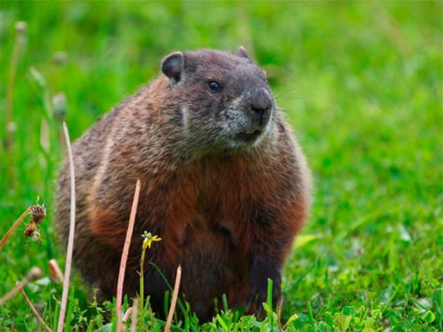 marmota roedor de ámbito embarazado