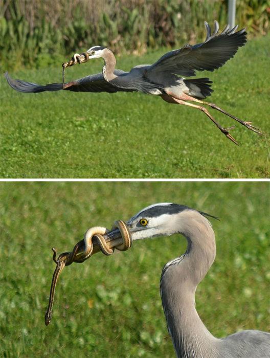 gruña atacada por serpiente