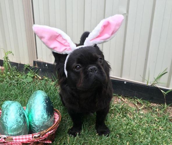 pascua chucho disfrazado de conejo
